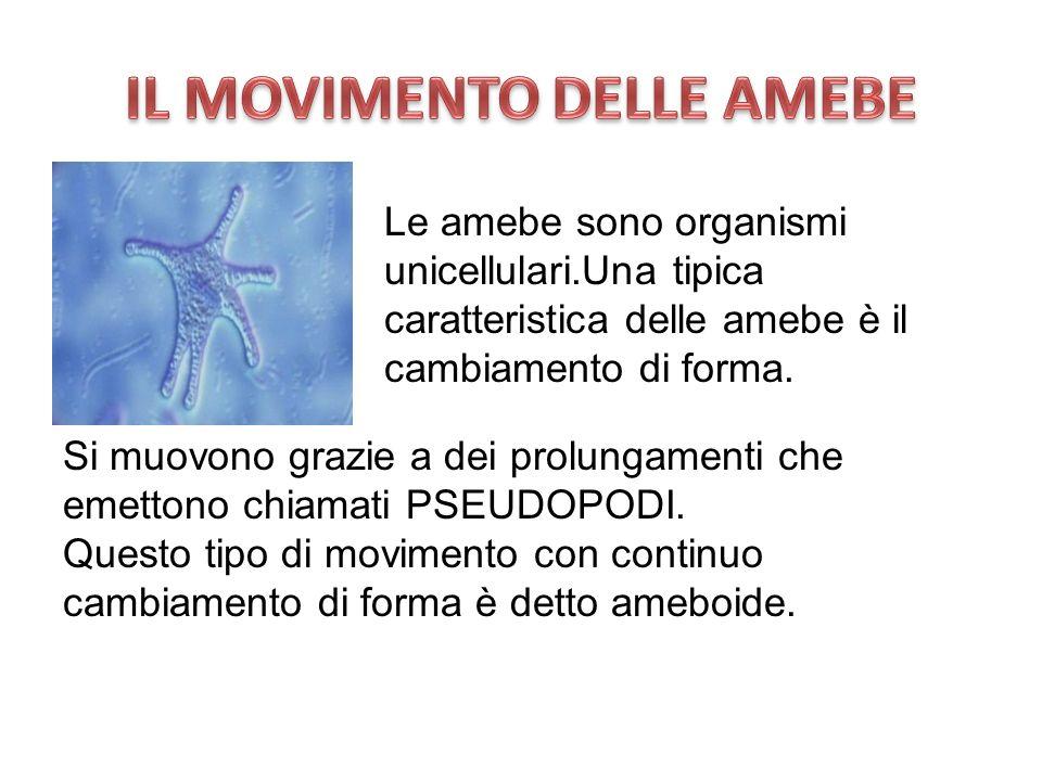 Si muovono grazie a dei prolungamenti che emettono chiamati PSEUDOPODI. Questo tipo di movimento con continuo cambiamento di forma è detto ameboide. L