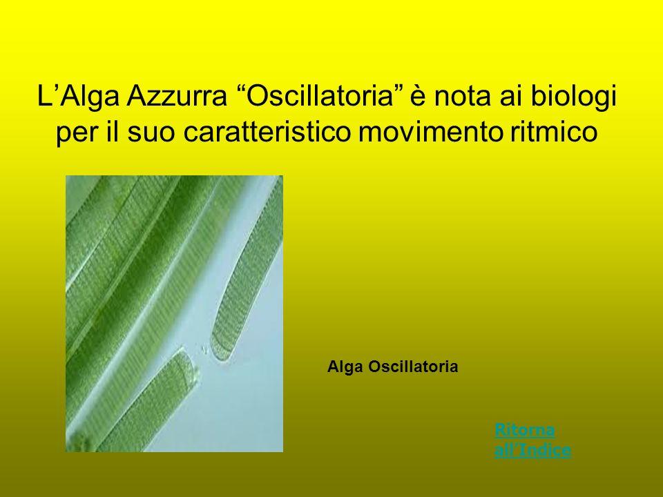 LAlga Azzurra Oscillatoria è nota ai biologi per il suo caratteristico movimento ritmico Alga Oscillatoria Ritorna allIndice