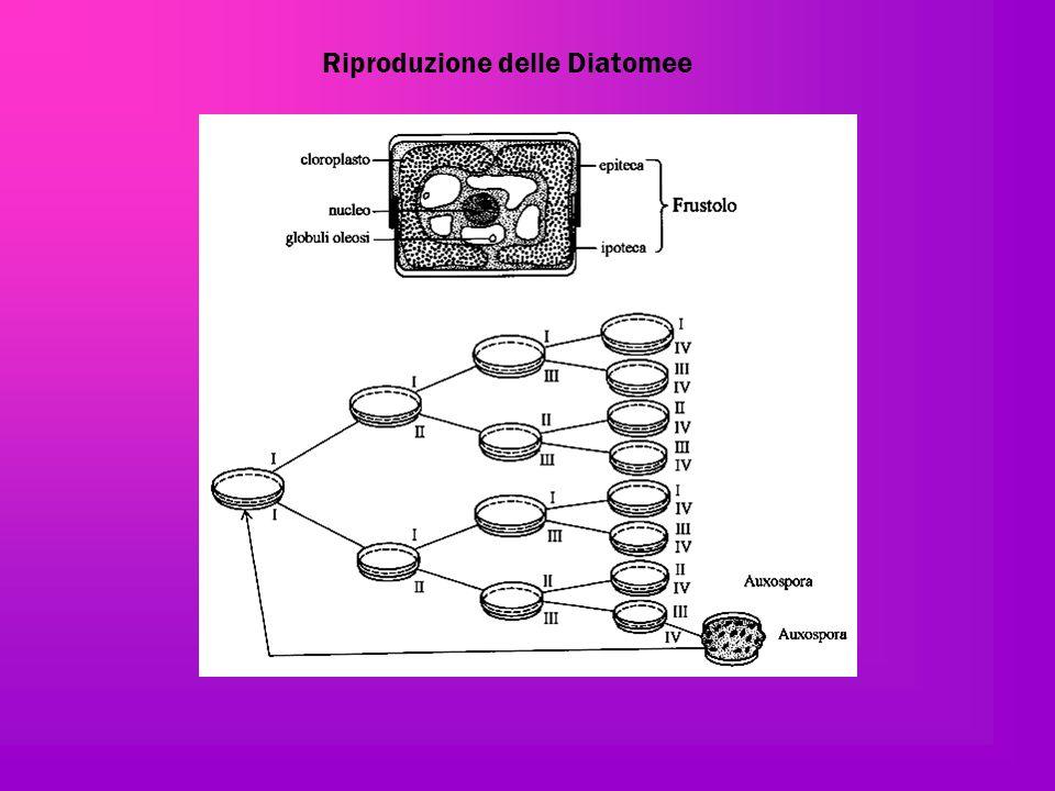 Riproduzione delle Diatomee