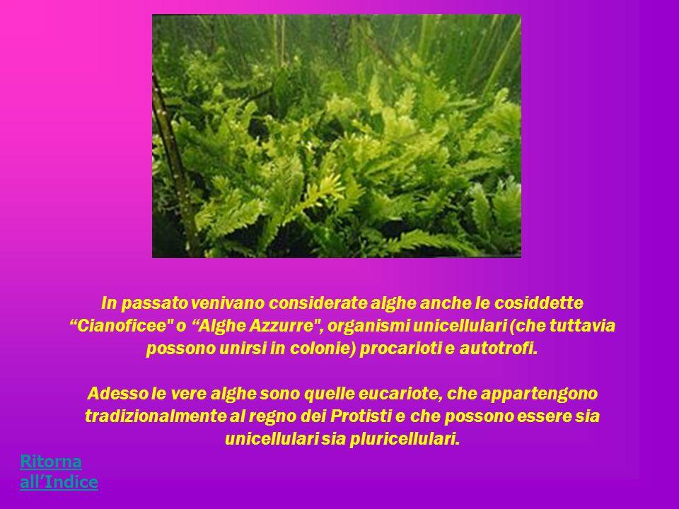 In passato venivano considerate alghe anche le cosiddette Cianoficee