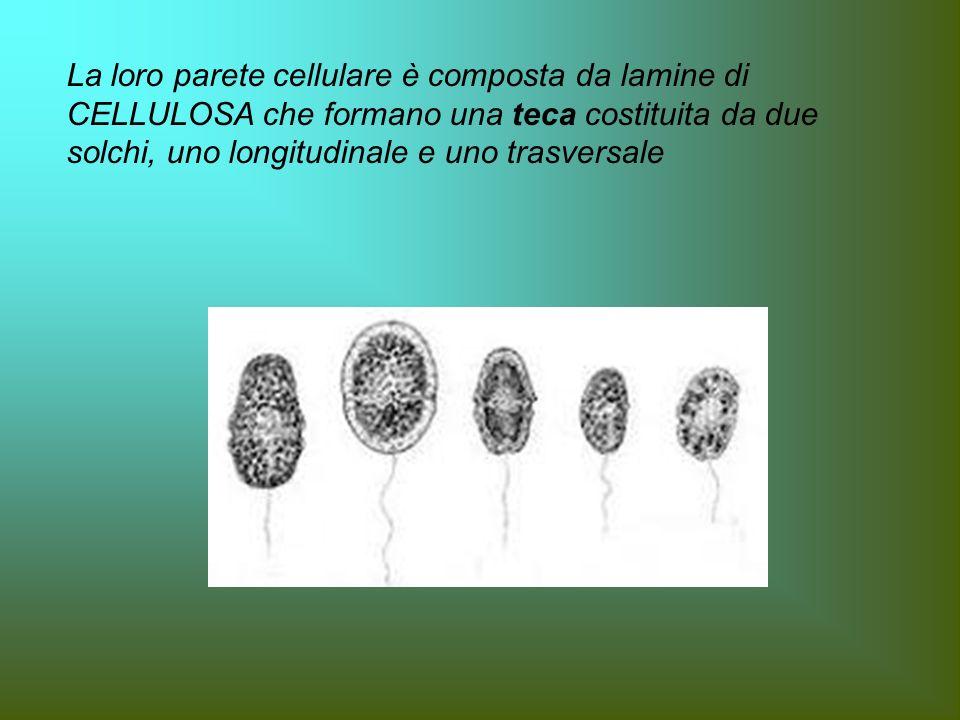 La loro parete cellulare è composta da lamine di CELLULOSA che formano una teca costituita da due solchi, uno longitudinale e uno trasversale