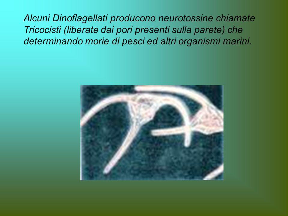 Alcuni Dinoflagellati producono neurotossine chiamate Tricocisti (liberate dai pori presenti sulla parete) che determinando morie di pesci ed altri or