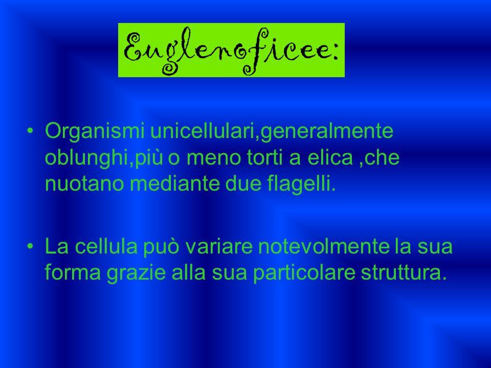 Organismi unicellulari,generalmente oblunghi,più o meno torti a elica,che nuotano mediante due flagelli. La cellula può variare notevolmente la sua fo