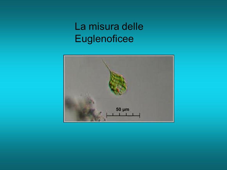 La misura delle Euglenoficee