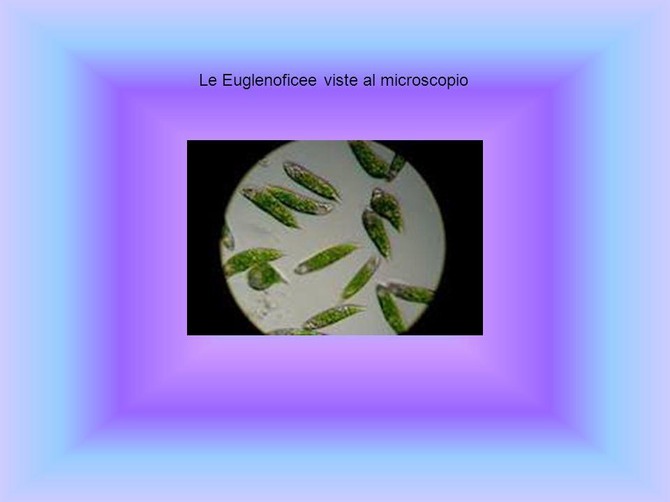 Le Euglenoficee viste al microscopio