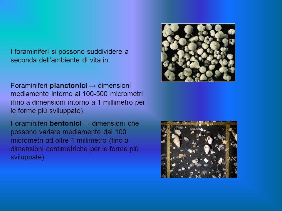 I foraminiferi si possono suddividere a seconda dell'ambiente di vita in: Foraminiferi planctonici dimensioni mediamente intorno ai 100-500 micrometri