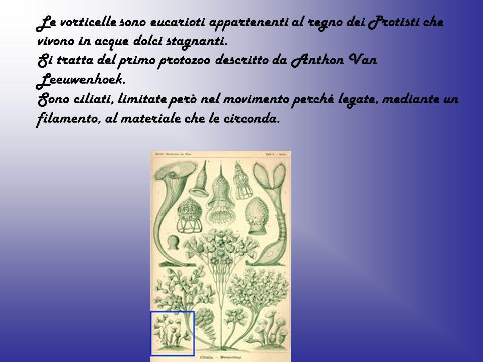 Le vorticelle sono eucarioti appartenenti al regno dei Protisti che vivono in acque dolci stagnanti. Si tratta del primo protozoo descritto da Anthon