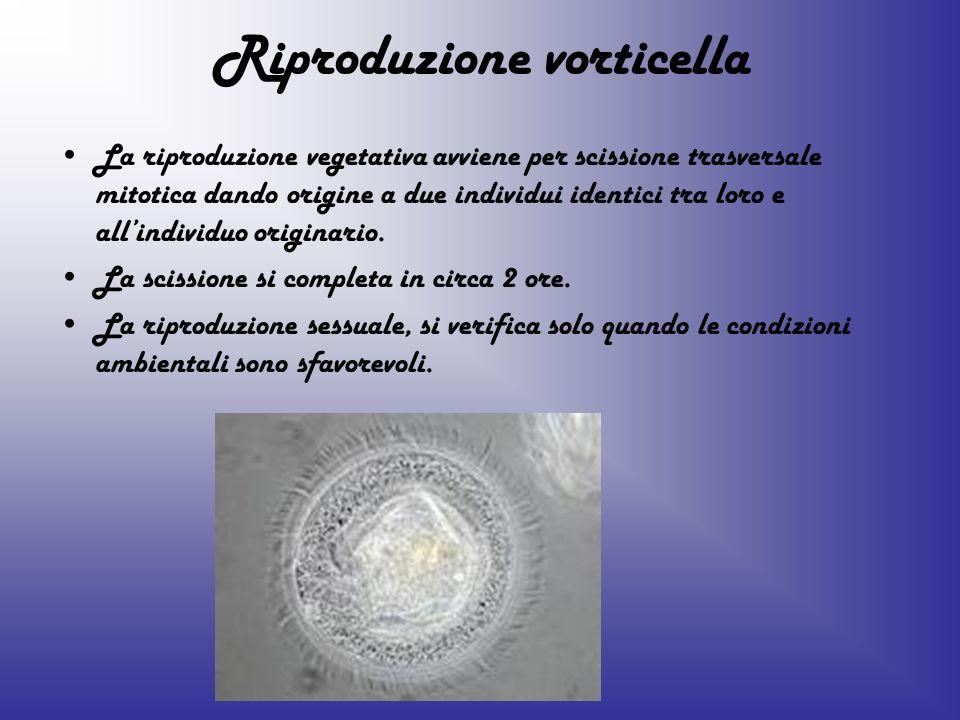 Riproduzione vorticella La riproduzione vegetativa avviene per scissione trasversale mitotica dando origine a due individui identici tra loro e allind