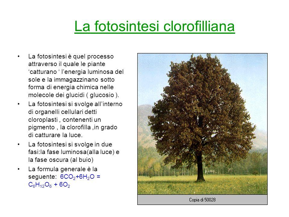 La fotosintesi clorofilliana La fotosintesi è quel processo attraverso il quale le piante catturano lenergia luminosa del sole e la immagazzinano sott
