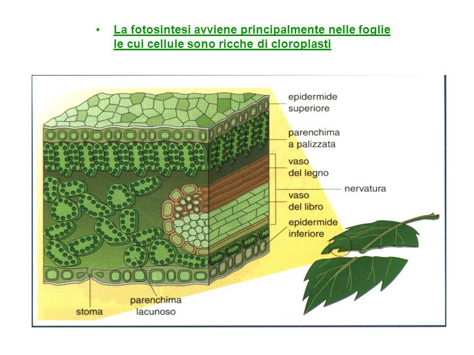 La fotosintesi avviene principalmente nelle foglie le cui cellule sono ricche di cloroplasti