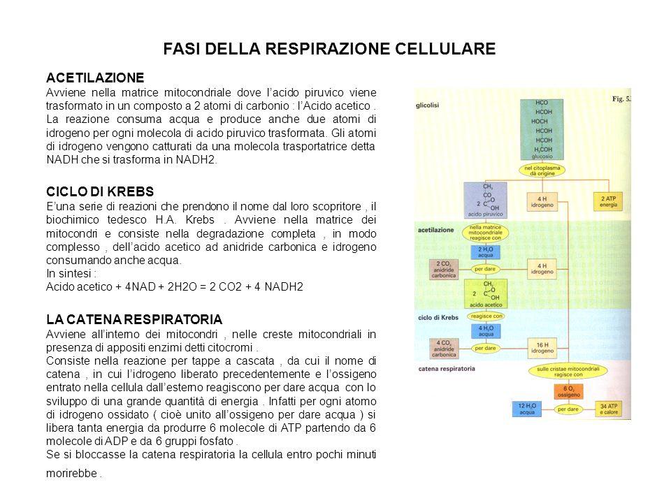 FASI DELLA RESPIRAZIONE CELLULARE ACETILAZIONE Avviene nella matrice mitocondriale dove lacido piruvico viene trasformato in un composto a 2 atomi di