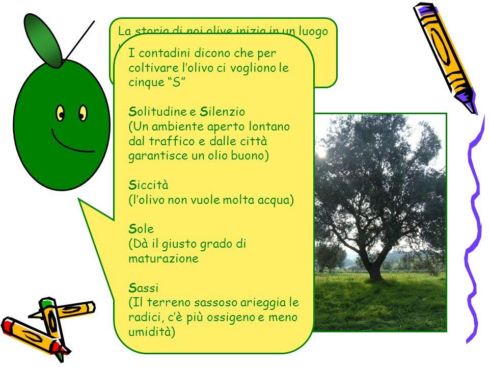 La storia di noi olive inizia in un luogo un pò magico, chiamato oliveto. I contadini dicono che per coltivare lolivo ci vogliono le cinque S Solitudi