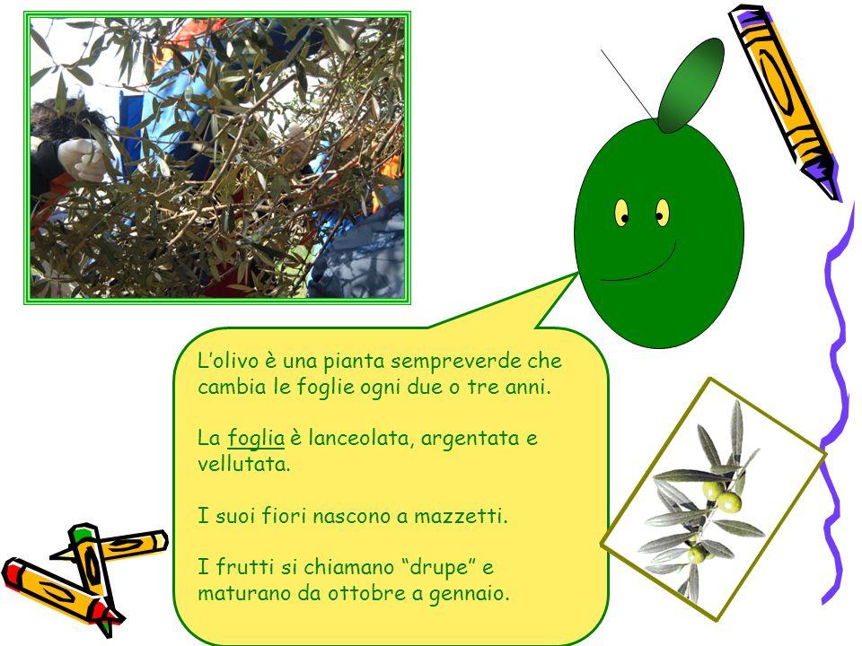 La raccolta a mano si esegue con diverse tecniche… Con la MAZZA: si batte per far cadere le olive.
