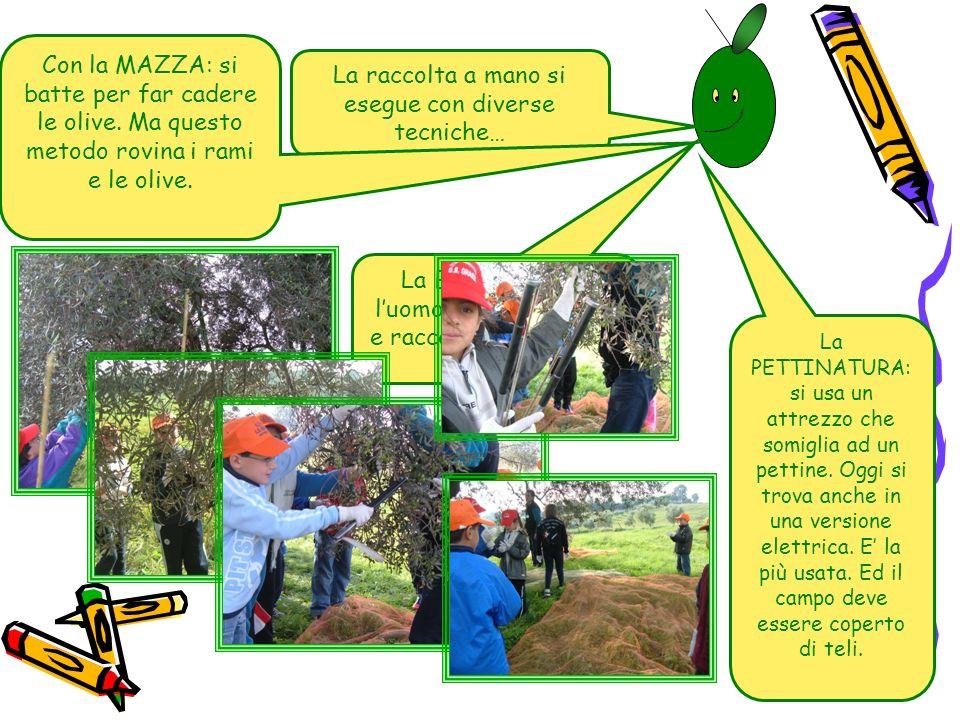 La raccolta a mano si esegue con diverse tecniche… Con la MAZZA: si batte per far cadere le olive. Ma questo metodo rovina i rami e le olive. La BRUCA