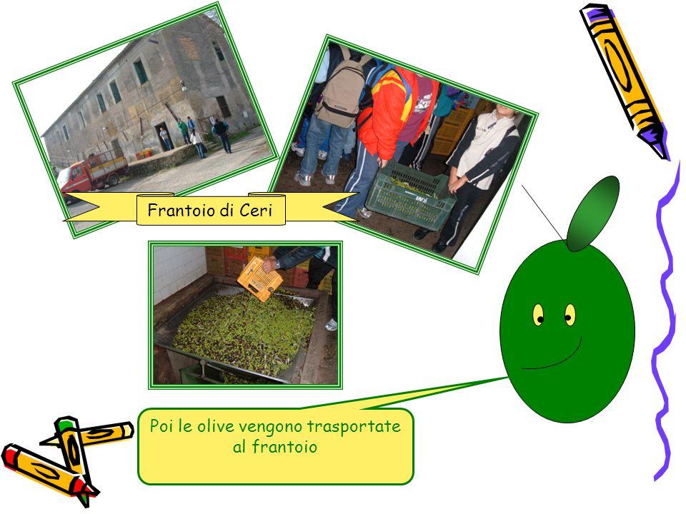 Frantoio di Ceri Poi le olive vengono trasportate al frantoio