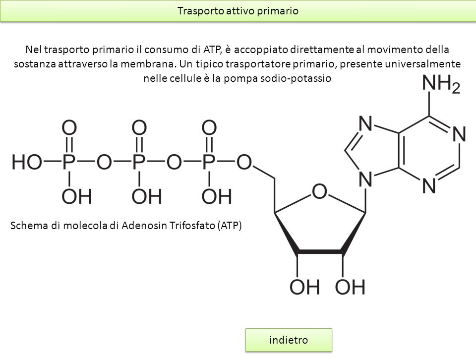 Trasporto attivo primario Nel trasporto primario il consumo di ATP, è accoppiato direttamente al movimento della sostanza attraverso la membrana. Un t