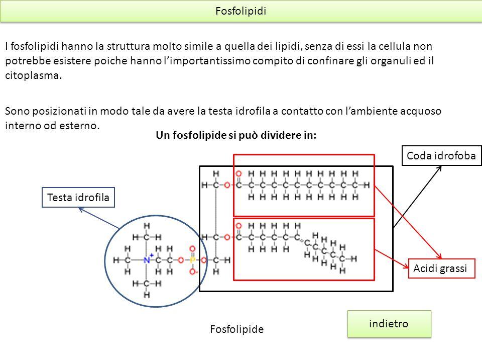 Fosfolipidi I fosfolipidi hanno la struttura molto simile a quella dei lipidi, senza di essi la cellula non potrebbe esistere poiche hanno limportanti