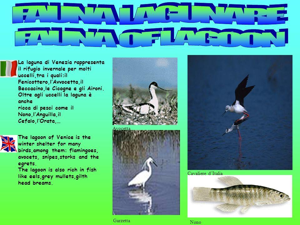 Cavaliere dItalia Nono Garzetta Avocetta La laguna di Venezia rappresenta il rifugio invernale per molti uccelli,tra i quali:il Fenicottero,lAvvocetta
