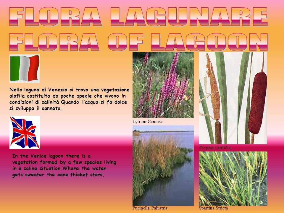 Thypha Latifolia Spartina Stricta Lytrum Canneto Pucinella Palustris Nella laguna di Venezia si trova una vegetazione alofila costituita da poche spec