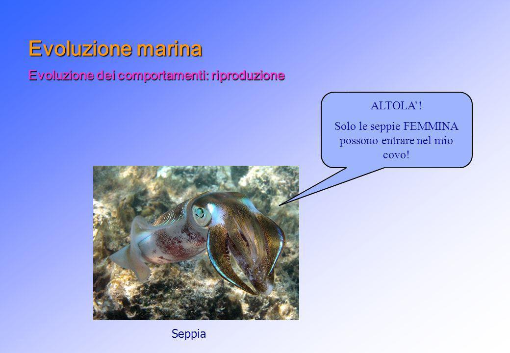ALTOLA! Solo le seppie FEMMINA possono entrare nel mio covo! Evoluzione marina Evoluzione dei comportamenti: riproduzione Seppia