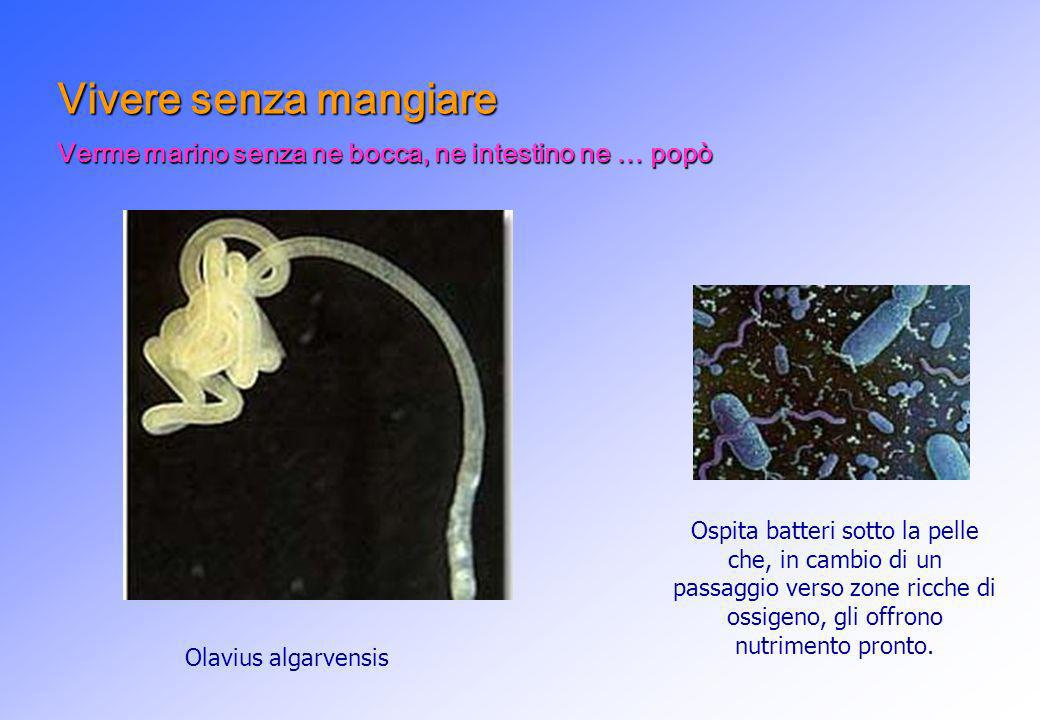 Olavius algarvensis Ospita batteri sotto la pelle che, in cambio di un passaggio verso zone ricche di ossigeno, gli offrono nutrimento pronto. Vivere