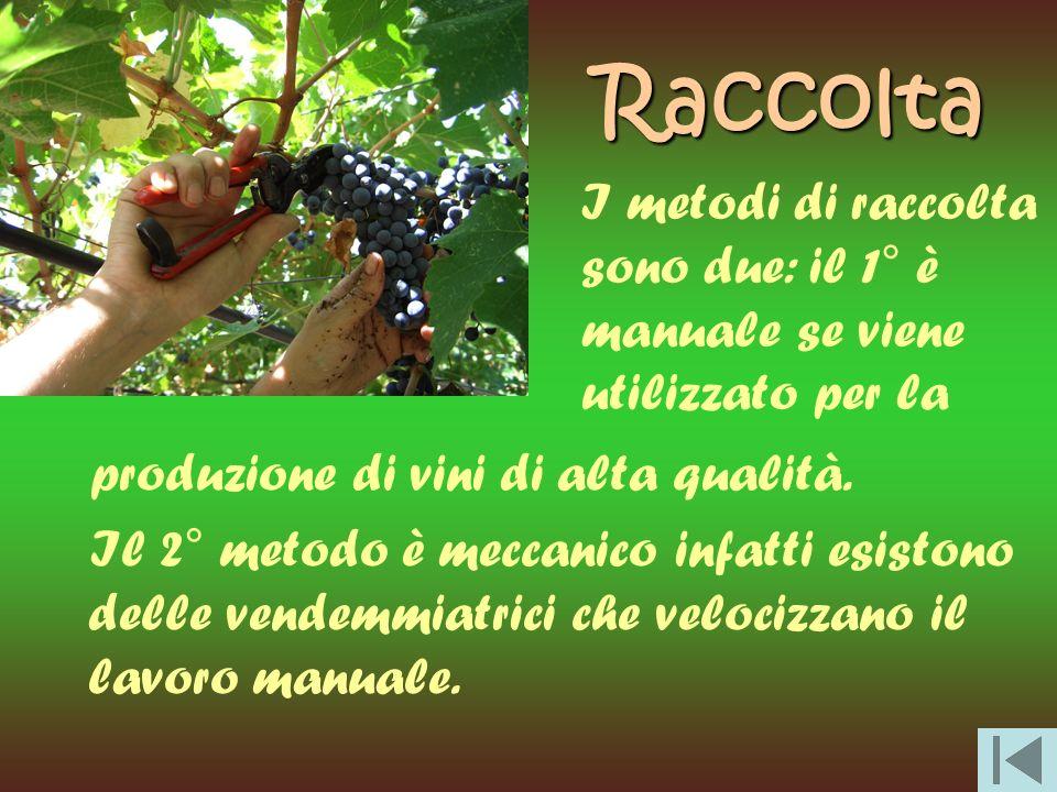 Raccolta produzione di vini di alta qualità. Il 2° metodo è meccanico infatti esistono delle vendemmiatrici che velocizzano il lavoro manuale. I metod