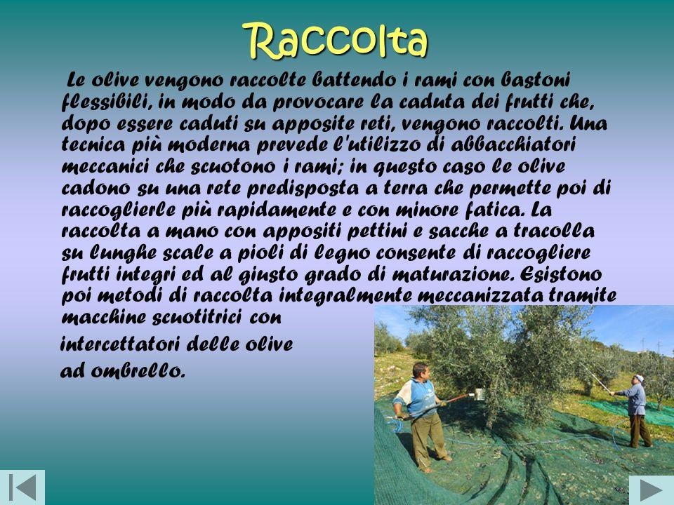Raccolta Le olive vengono raccolte battendo i rami con bastoni flessibili, in modo da provocare la caduta dei frutti che, dopo essere caduti su apposi