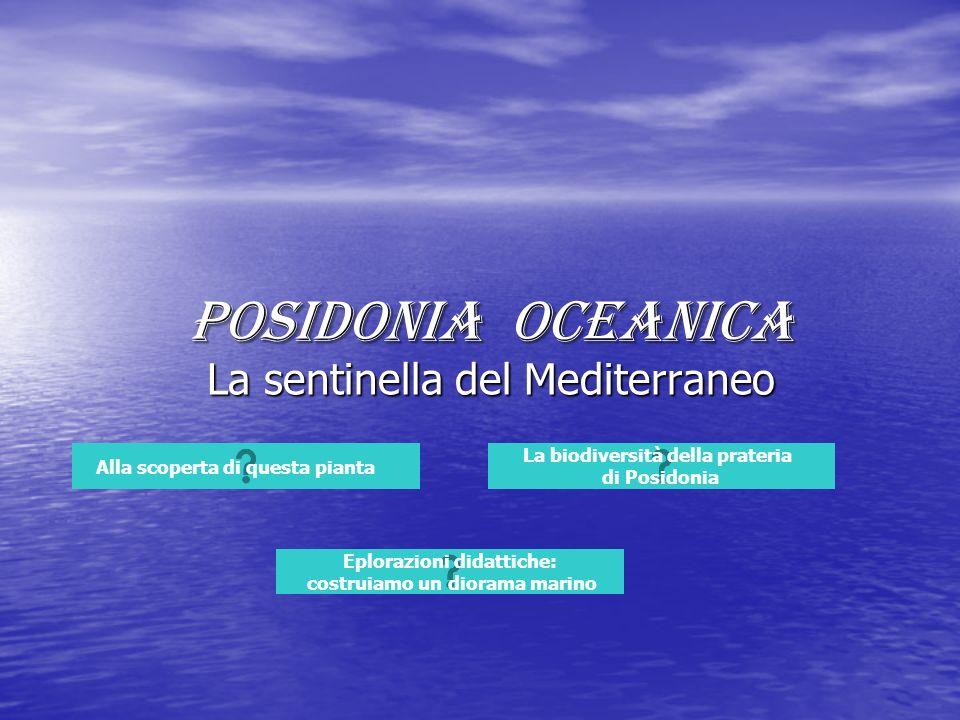 Posidonia oceanica La sentinella del Mediterraneo Alla scoperta di questa pianta La biodiversità della prateria di Posidonia Eplorazioni didattiche: c