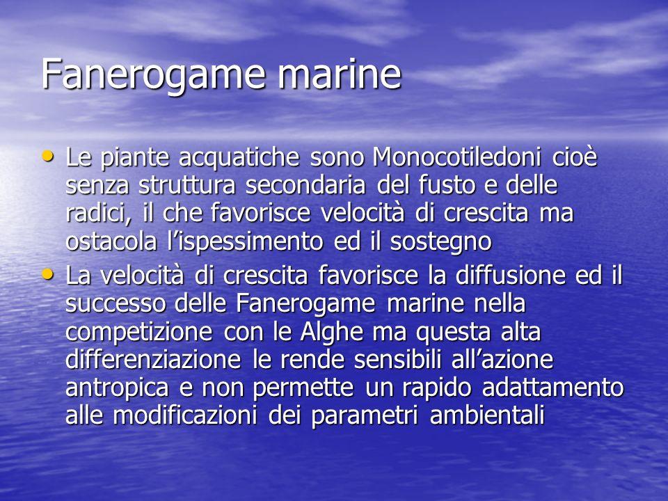 Fanerogame marine Le piante acquatiche sono Monocotiledoni cioè senza struttura secondaria del fusto e delle radici, il che favorisce velocità di cres