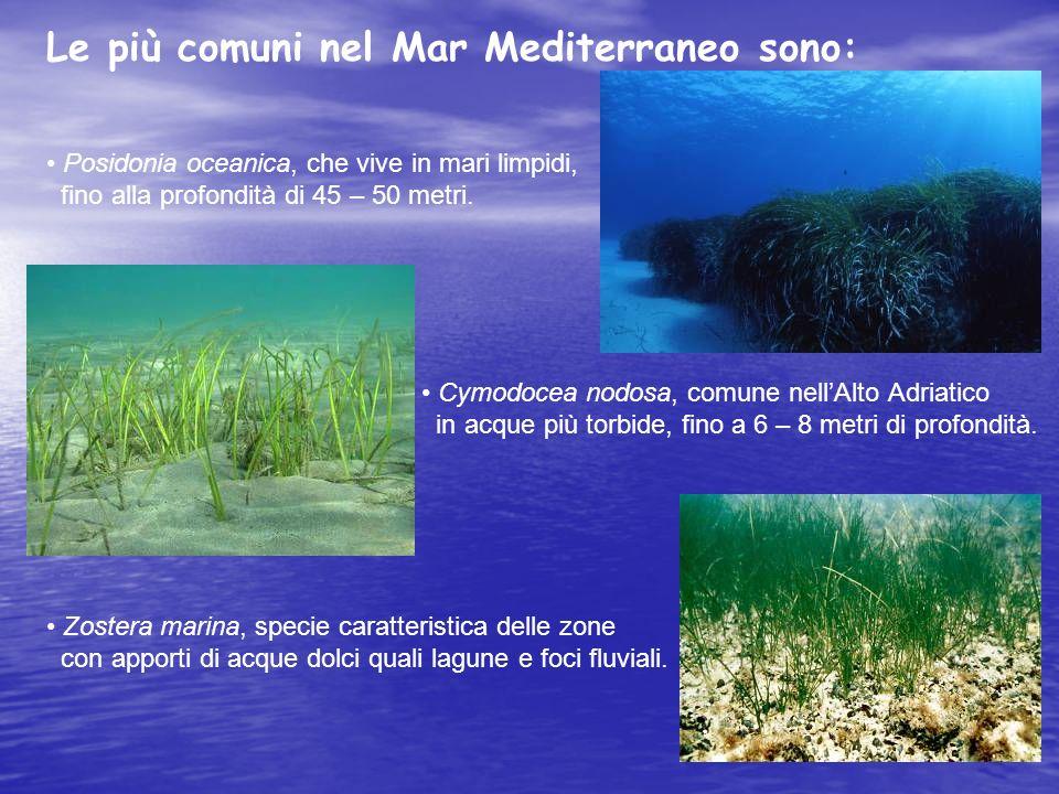 Le più comuni nel Mar Mediterraneo sono: Posidonia oceanica, che vive in mari limpidi, fino alla profondità di 45 – 50 metri. Cymodocea nodosa, comune