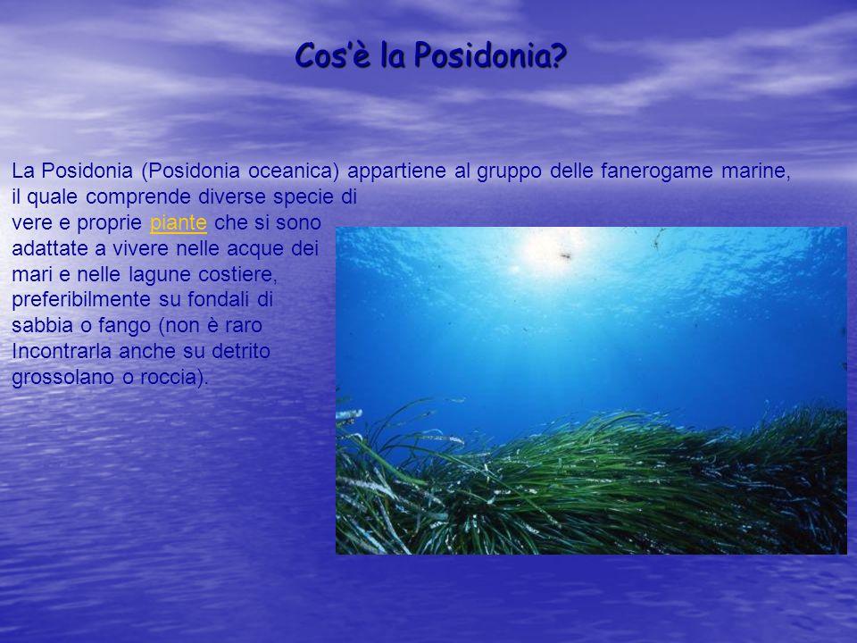 Cosè la Posidonia? La Posidonia (Posidonia oceanica) appartiene al gruppo delle fanerogame marine, il quale comprende diverse specie di vere e proprie