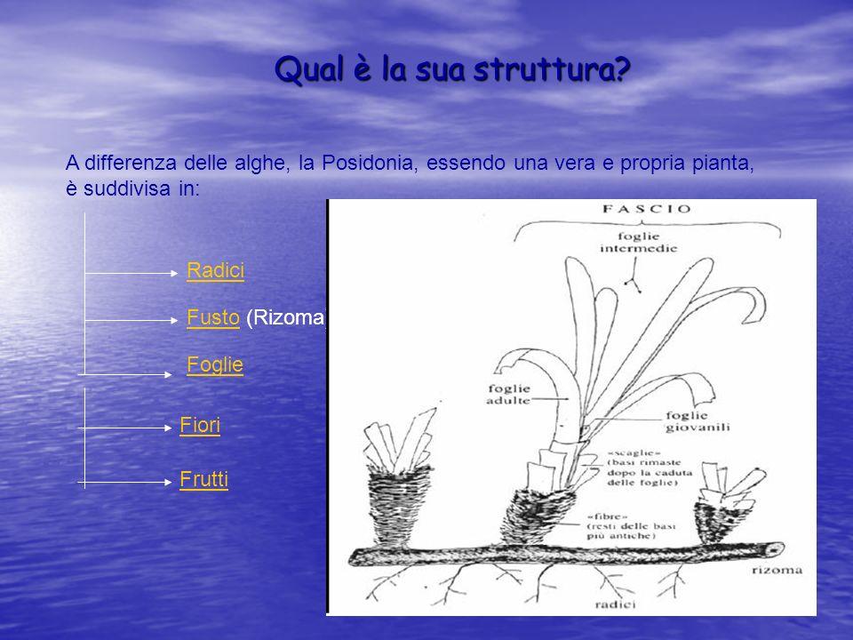 Qual è la sua struttura? A differenza delle alghe, la Posidonia, essendo una vera e propria pianta, è suddivisa in: Radici FustoFusto (Rizoma) Foglie