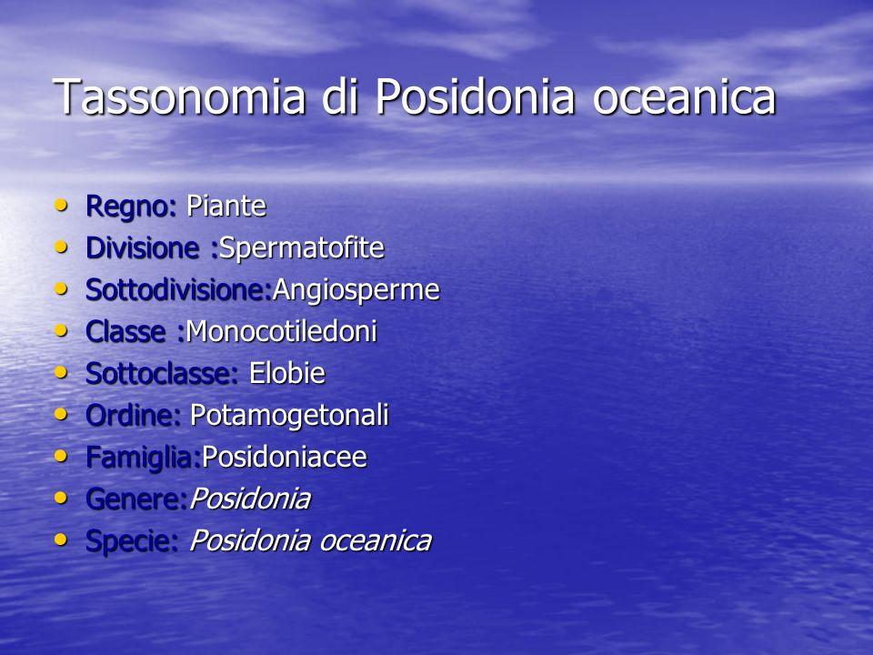 Tassonomia di Posidonia oceanica Regno: Piante Regno: Piante Divisione :Spermatofite Divisione :Spermatofite Sottodivisione:Angiosperme Sottodivisione