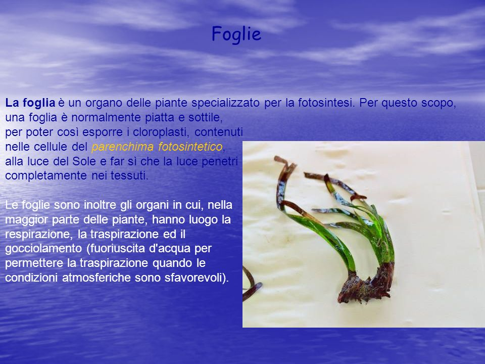 La foglia è un organo delle piante specializzato per la fotosintesi. Per questo scopo, una foglia è normalmente piatta e sottile, per poter così espor