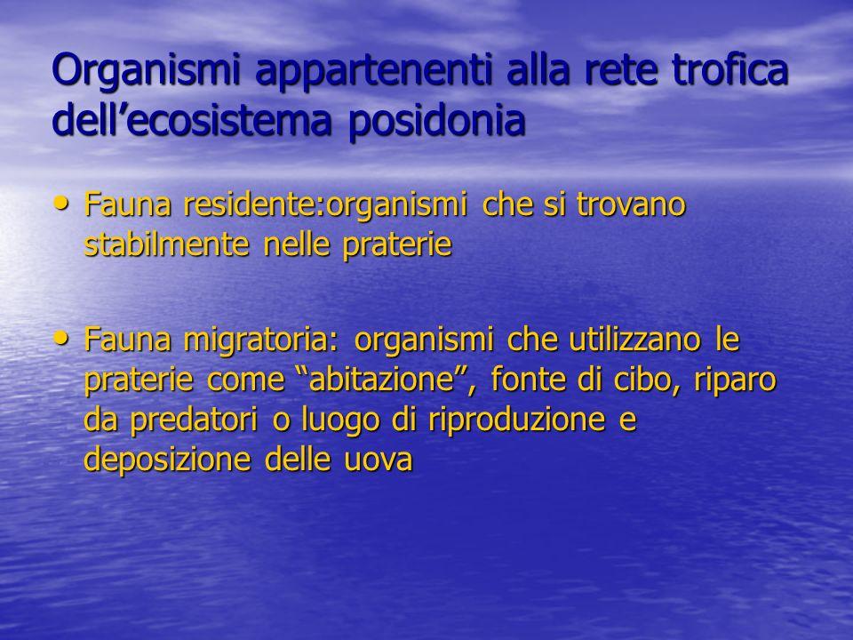 Organismi appartenenti alla rete trofica dellecosistema posidonia Fauna residente:organismi che si trovano stabilmente nelle praterie Fauna residente: