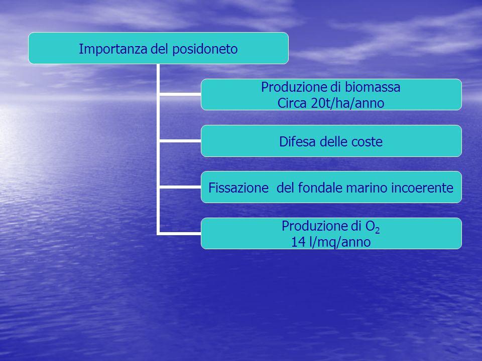 Importanza del posidoneto Produzione di biomassa Circa 20t/ha/anno Difesa delle coste Fissazione del fondale marino incoerente Produzione di O2 14 l/m