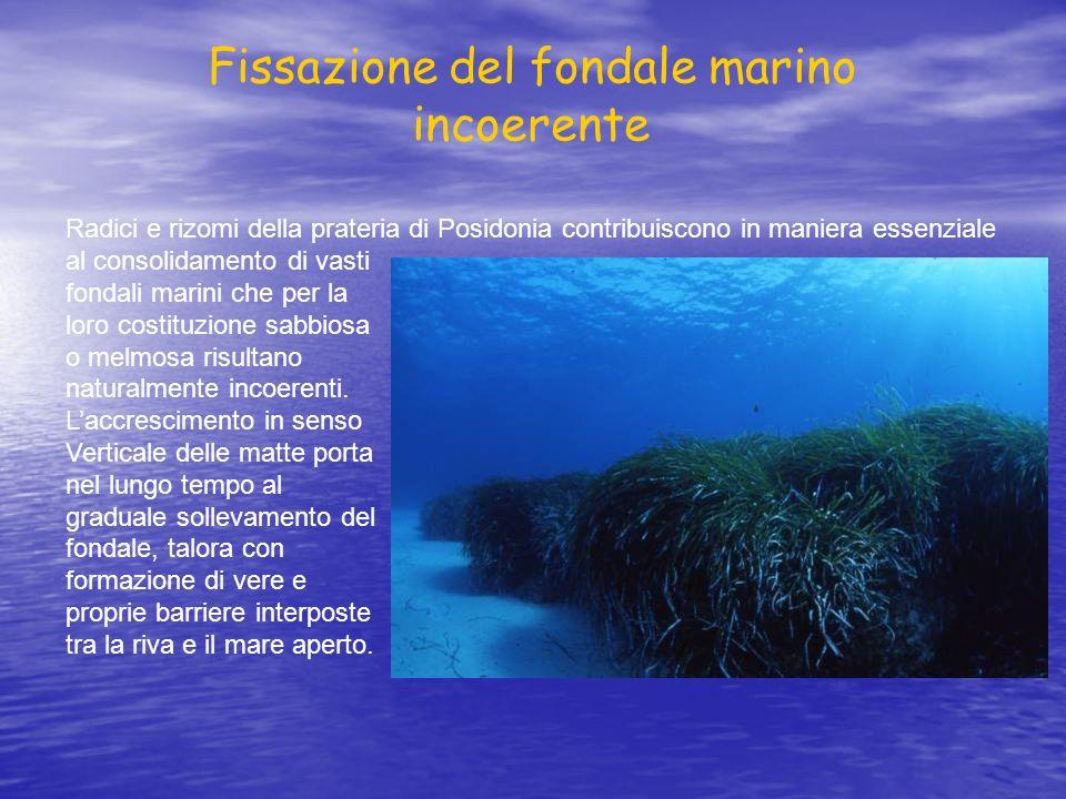 Radici e rizomi della prateria di Posidonia contribuiscono in maniera essenziale al consolidamento di vasti fondali marini che per la loro costituzion