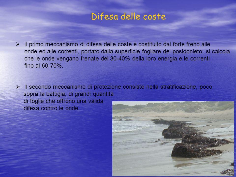 Il primo meccanismo di difesa delle coste è costituito dal forte freno alle onde ed alle correnti, portato dalla superficie fogliare del posidonieto: