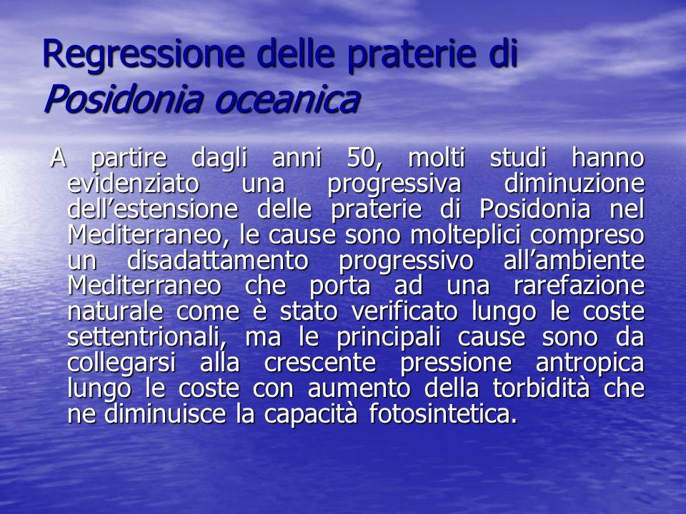 Regressione delle praterie di Posidonia oceanica A partire dagli anni 50, molti studi hanno evidenziato una progressiva diminuzione dellestensione del