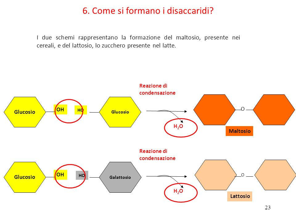 23 6. Come si formano i disaccaridi? Glucosio OH Glucosio HO Reazione di condensazione H2OH2O Glucosio OH Galattosio HO Reazione di condensazione H2OH