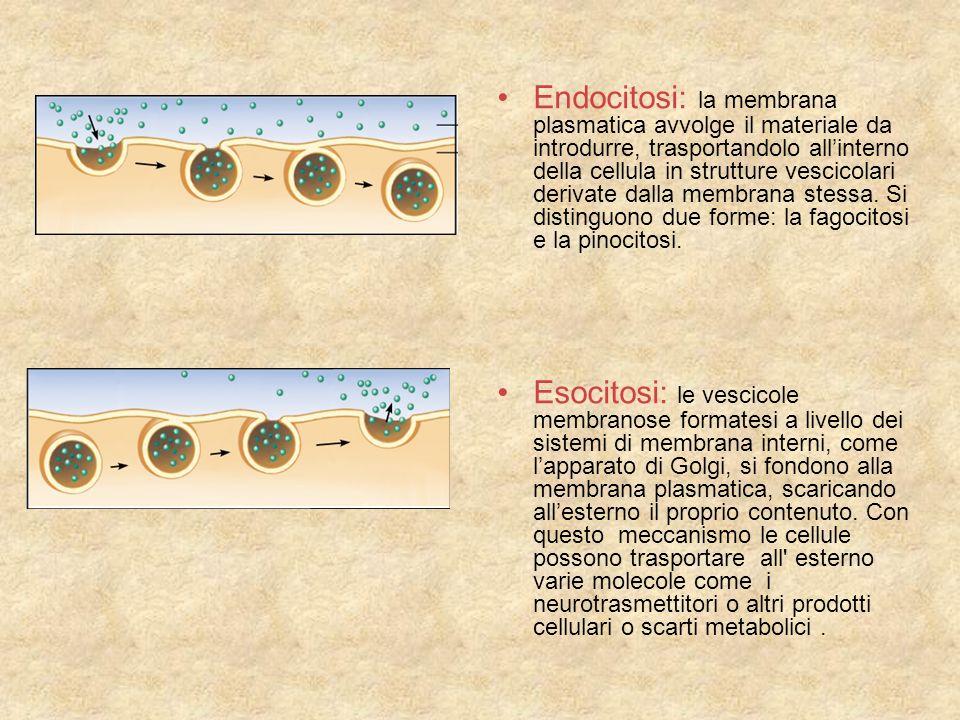 Endocitosi: la membrana plasmatica avvolge il materiale da introdurre, trasportandolo allinterno della cellula in strutture vescicolari derivate dalla membrana stessa.
