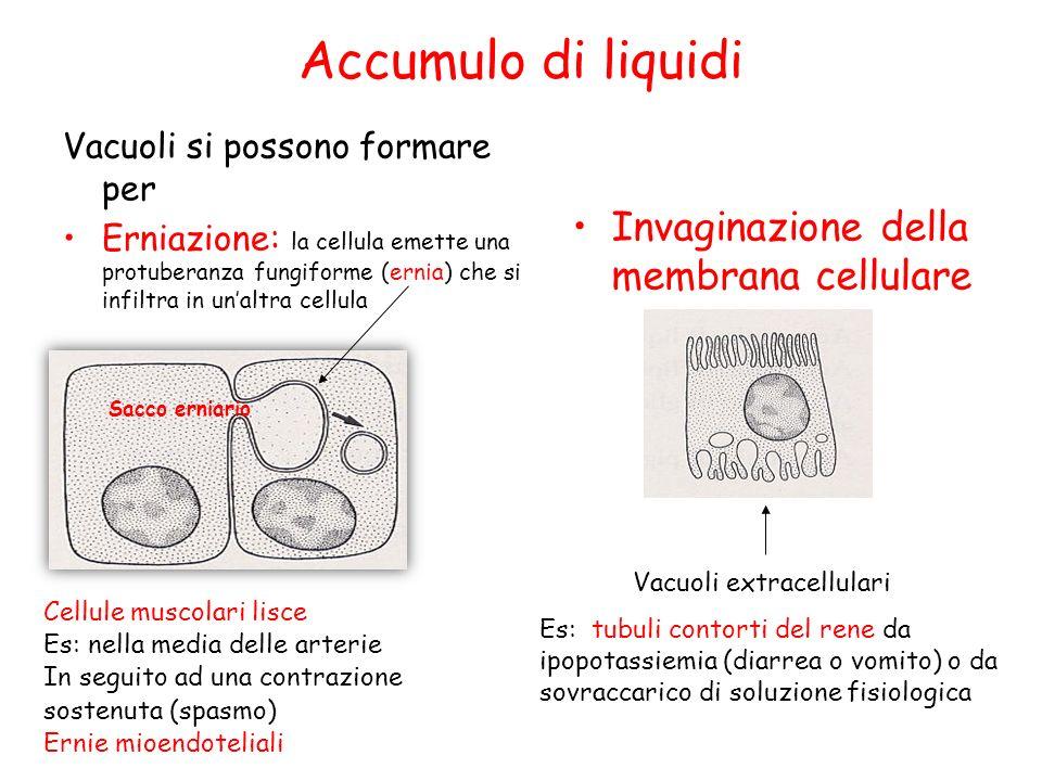 Accumulo di liquidi Vacuoli si possono formare per Erniazione: la cellula emette una protuberanza fungiforme (ernia) che si infiltra in unaltra cellul