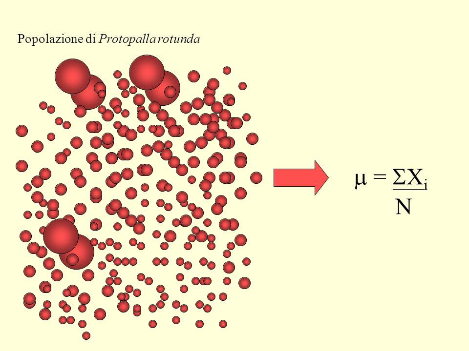 = X i N Popolazione di Protopalla rotunda