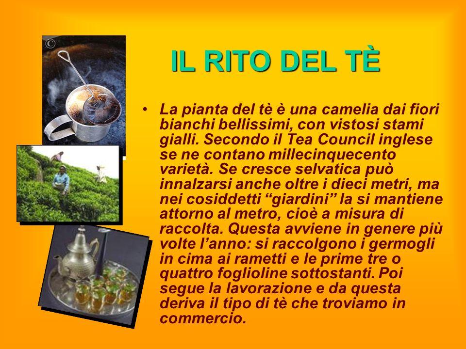 IL RITO DEL TÈ La pianta del tè è una camelia dai fiori bianchi bellissimi, con vistosi stami gialli. Secondo il Tea Council inglese se ne contano mil