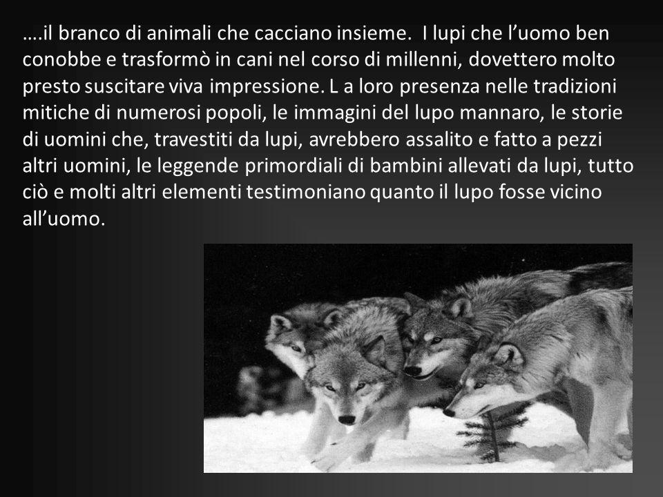 ….il branco di animali che cacciano insieme. I lupi che luomo ben conobbe e trasformò in cani nel corso di millenni, dovettero molto presto suscitare
