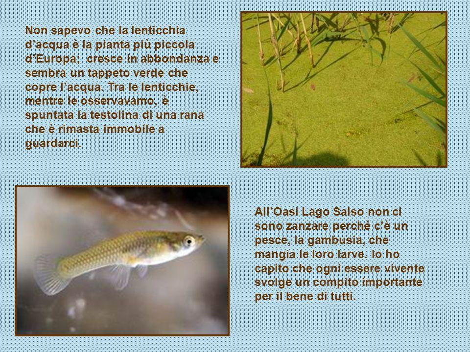 AllOasi Lago Salso non ci sono zanzare perché cè un pesce, la gambusia, che mangia le loro larve. Io ho capito che ogni essere vivente svolge un compi