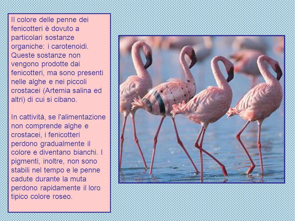 Il colore delle penne dei fenicotteri è dovuto a particolari sostanze organiche: i carotenoidi. Queste sostanze non vengono prodotte dai fenicotteri,