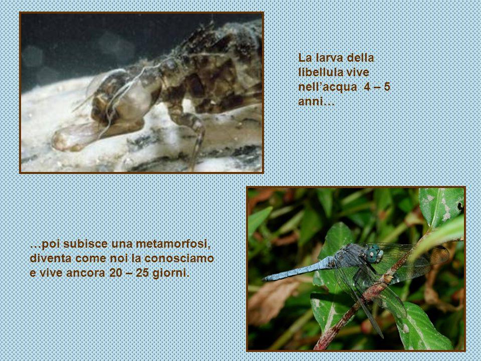 …poi subisce una metamorfosi, diventa come noi la conosciamo e vive ancora 20 – 25 giorni. La larva della libellula vive nellacqua 4 – 5 anni…