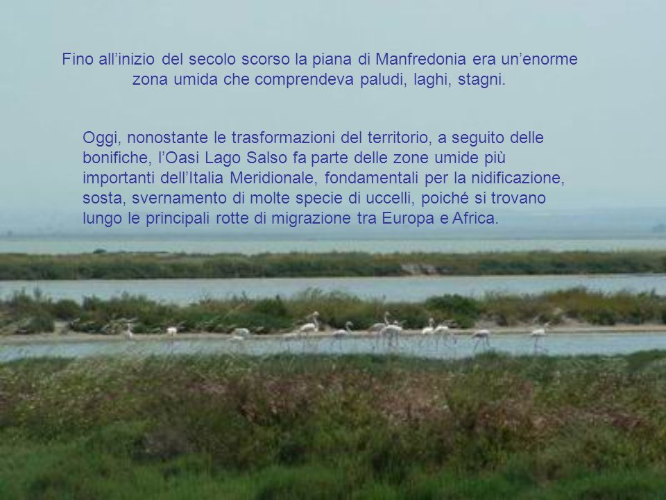 LOasi Lago Salso è una zona umida di 540 ettari, grande come 1000 campi da calcio, formata da un alternarsi di specchi dacqua e folti canneti, di profondità variabile da 50 a 170 cm e fa parte del Parco Nazionale del Gargano.