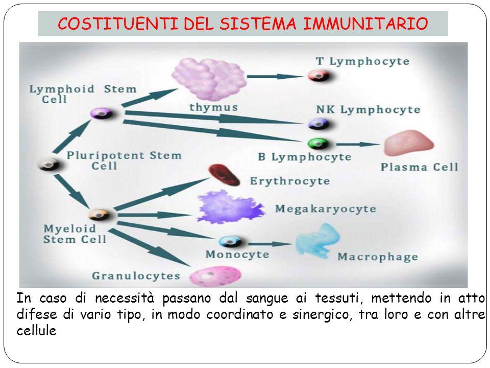 COSTITUENTI DEL SISTEMA IMMUNITARIO In caso di necessità passano dal sangue ai tessuti, mettendo in atto difese di vario tipo, in modo coordinato e sinergico, tra loro e con altre cellule